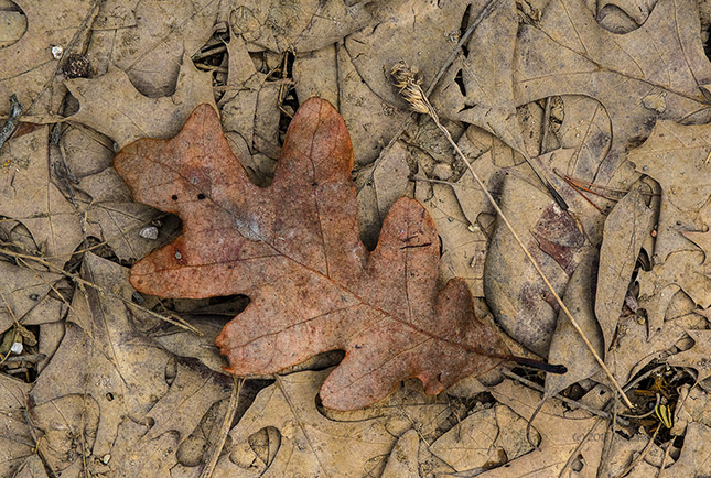 Close up of on dried leaf on a bed of mud coated leaves.