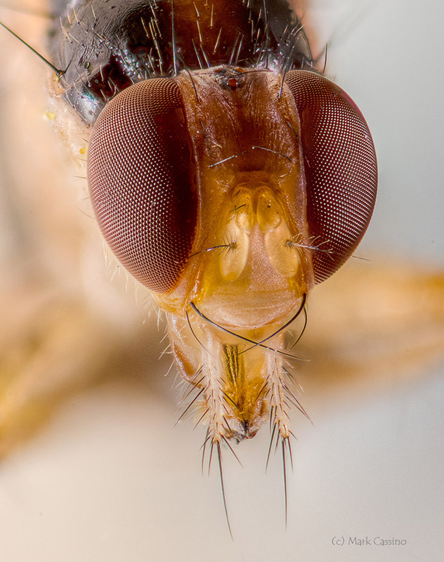 Extreme Macro Photo of a Fly (Diptera)
