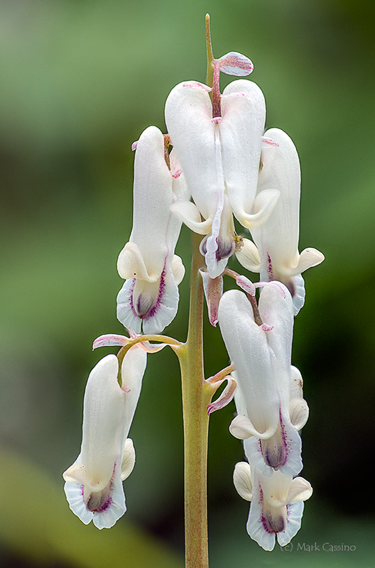 Squirrel Corn, Dicentra canadensis