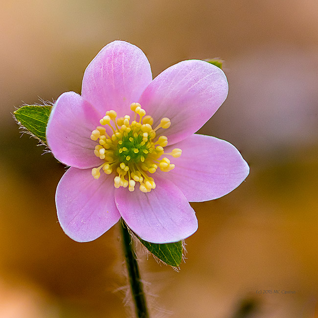 Hepatica Wildflower