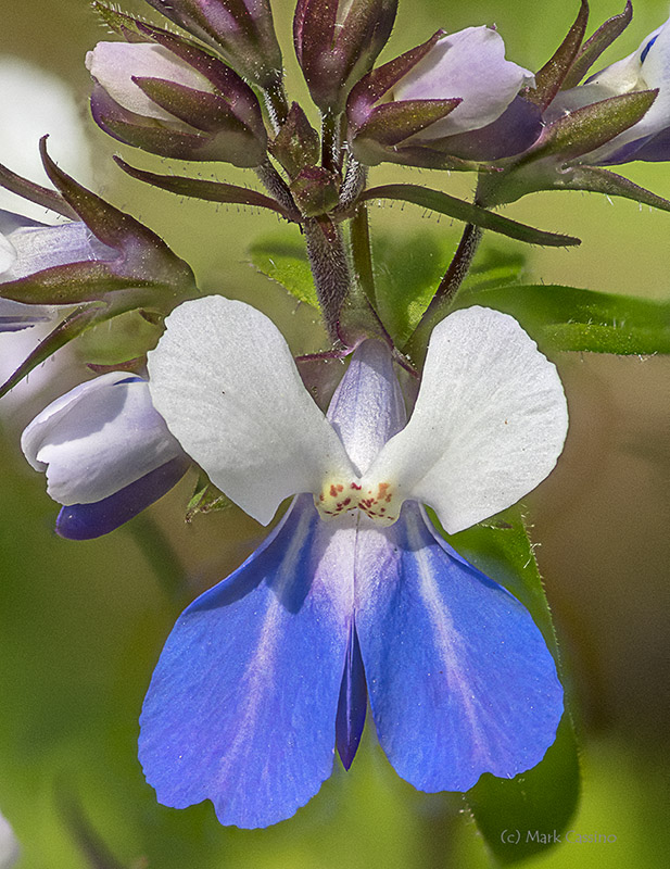 Blue Eyed Mary - Collinsia verna