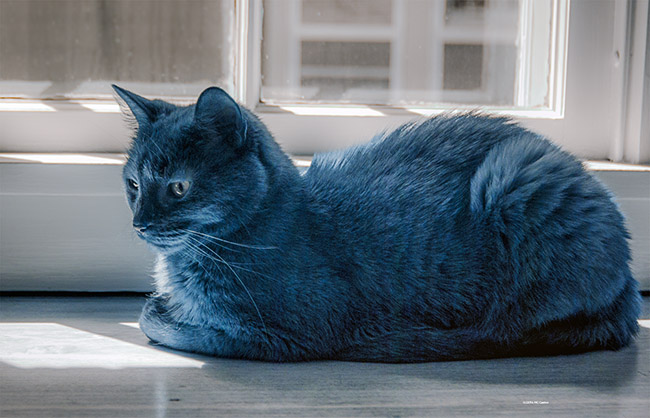 Feline Blue - Black Cat Photographed with Infrared Converted DSLR