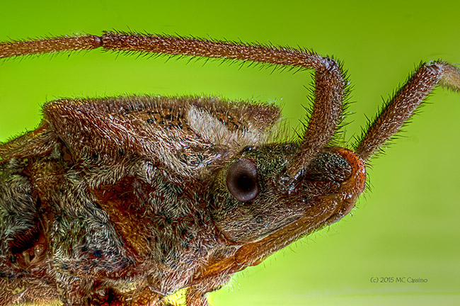 Extreme stacked macro photograph of a leaf footed bug.