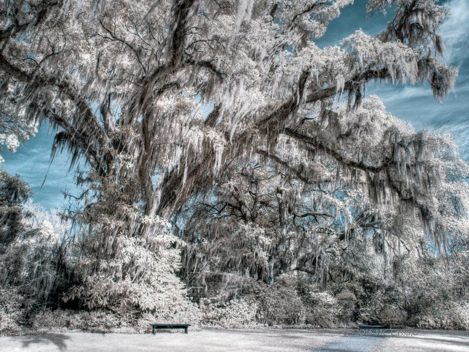 Tree at Magnolia Gardens - Digital Infrared