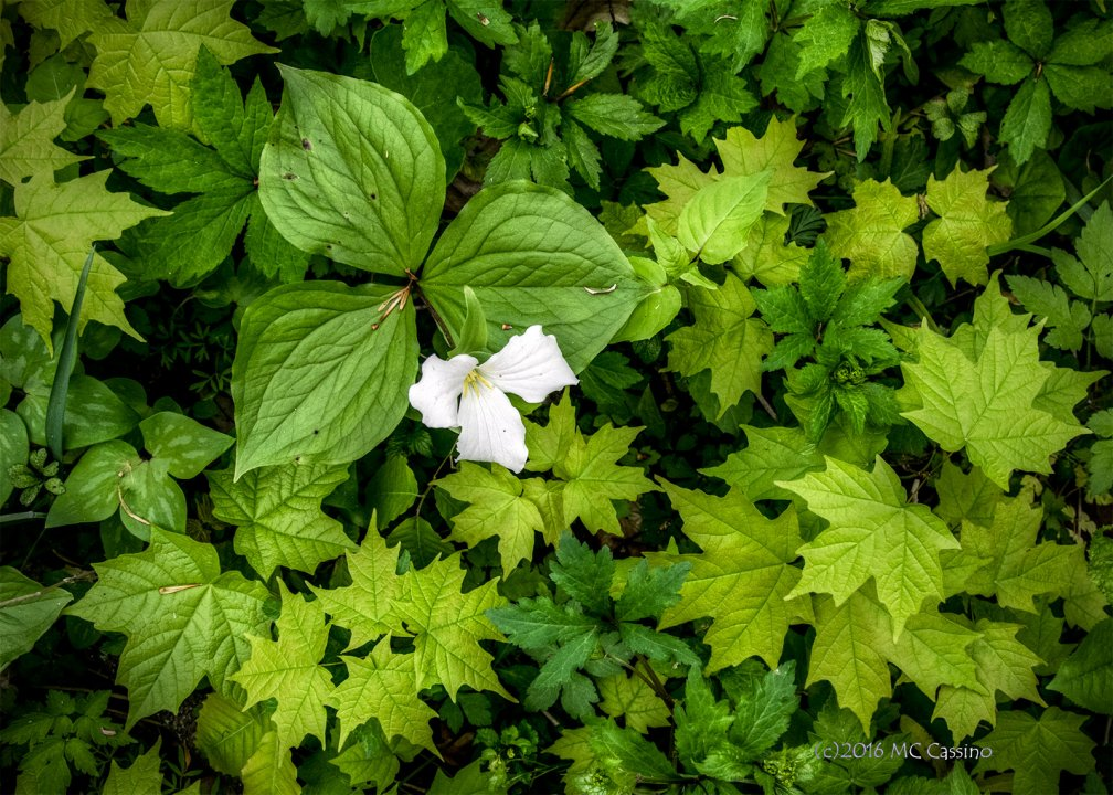 Photograph of trilium flower and wild spring foliage.