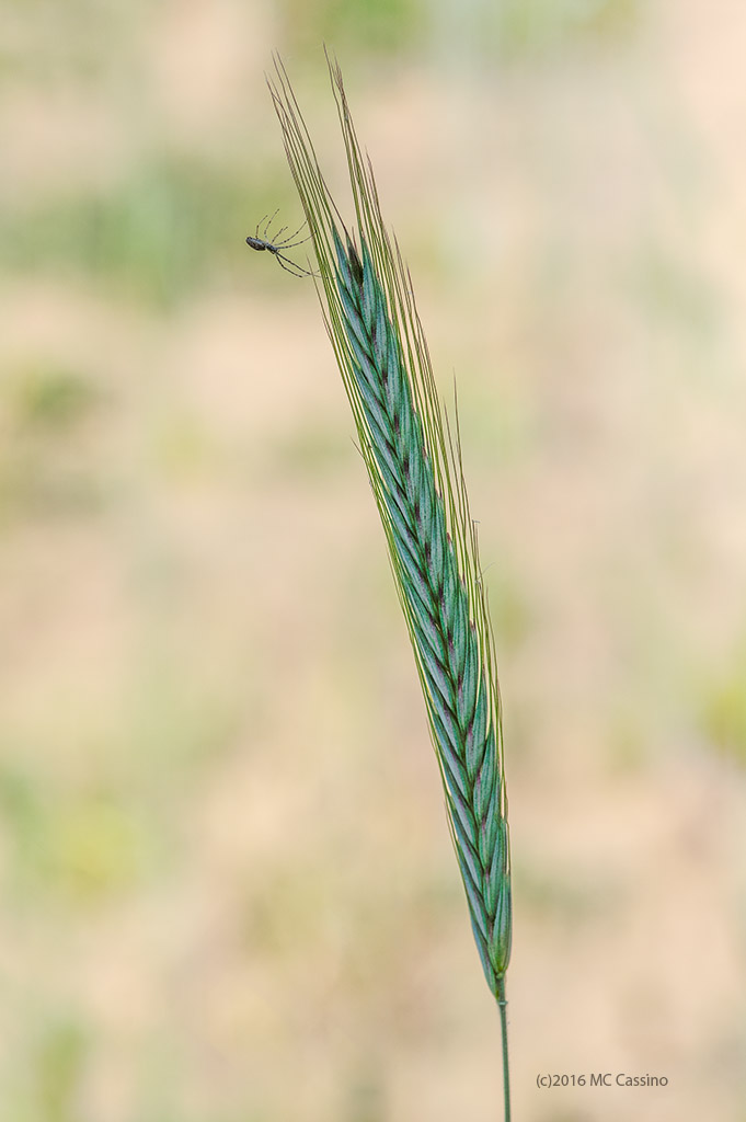Wheat Stalk Spider