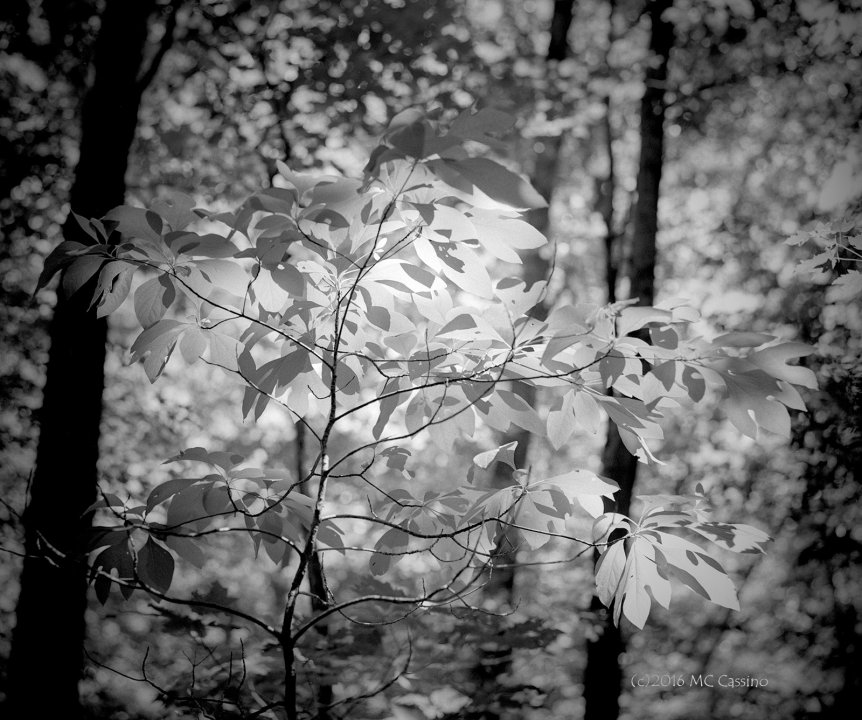Backlit Sassafras