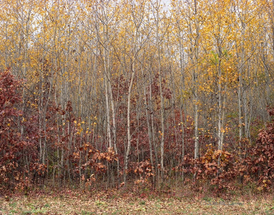 Color Photograph of Aspen Trees in Autumn