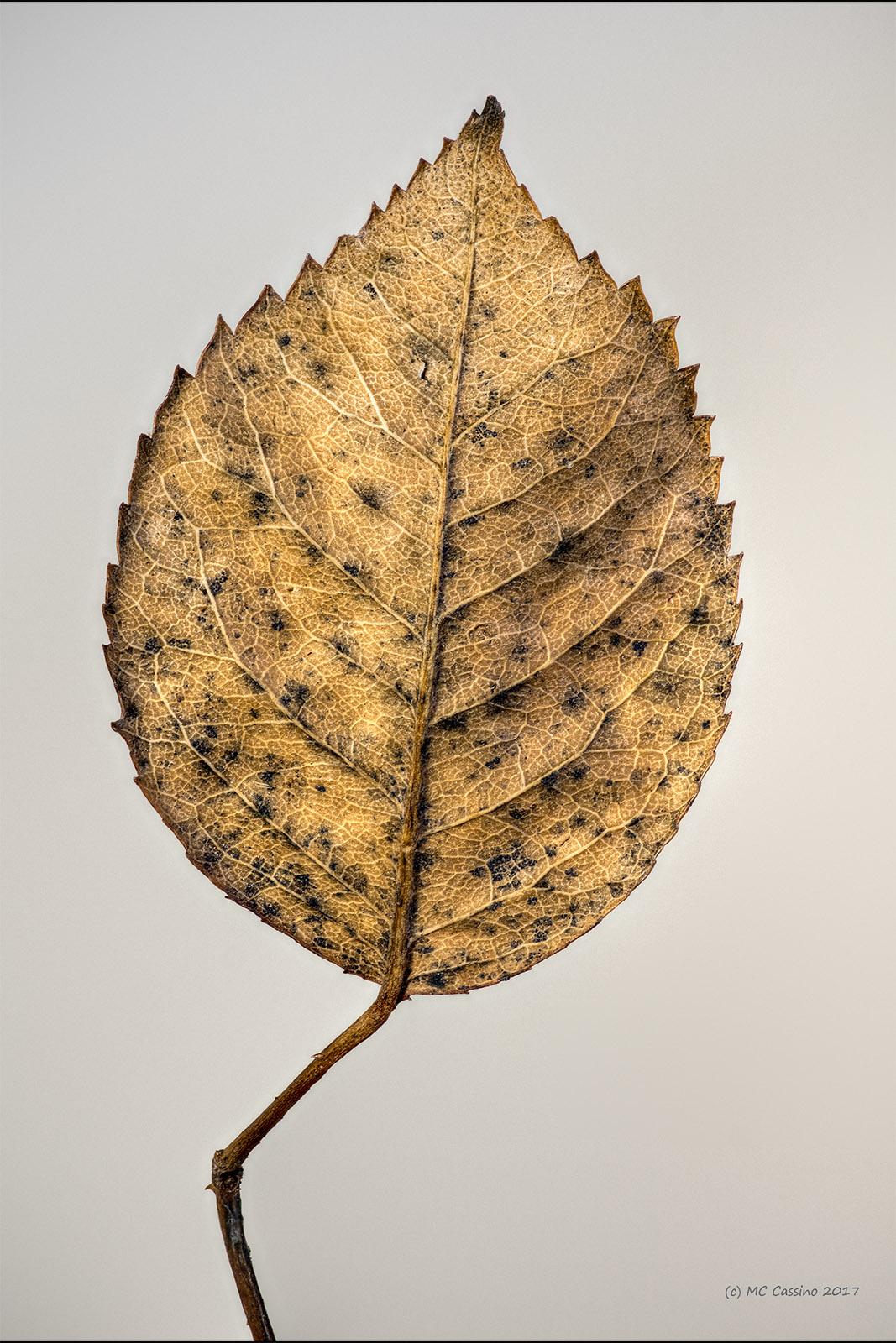 Rose Leaf - Front