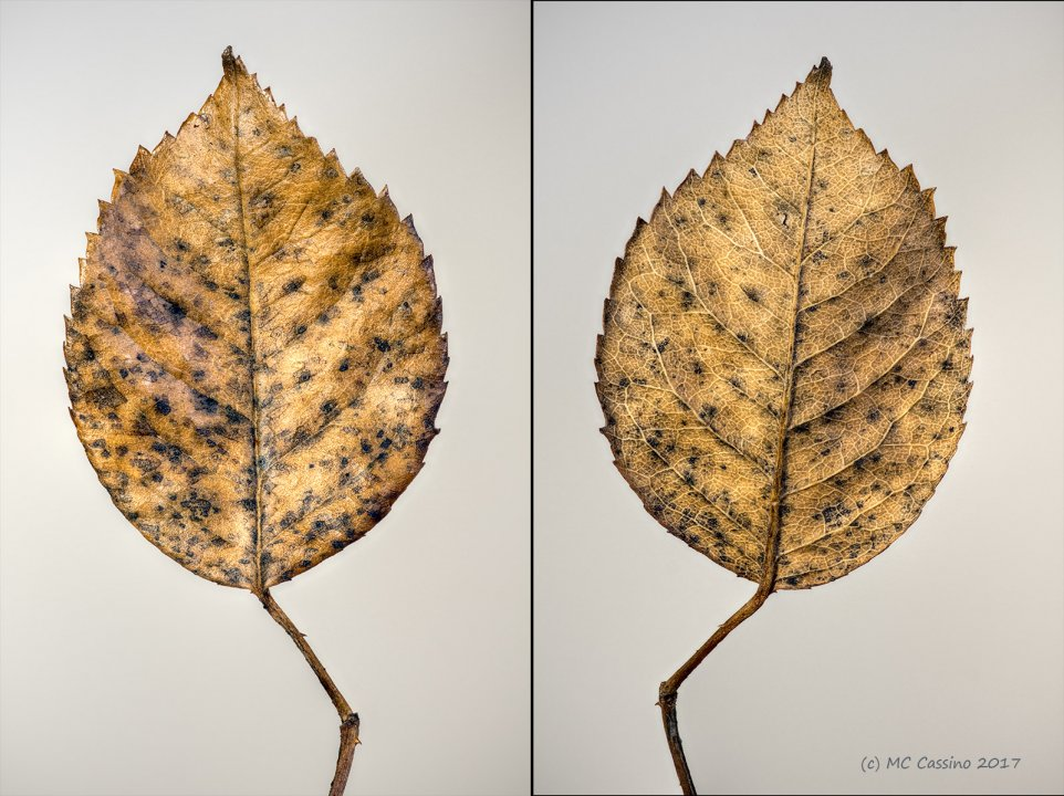 Rose Leaf Diptych