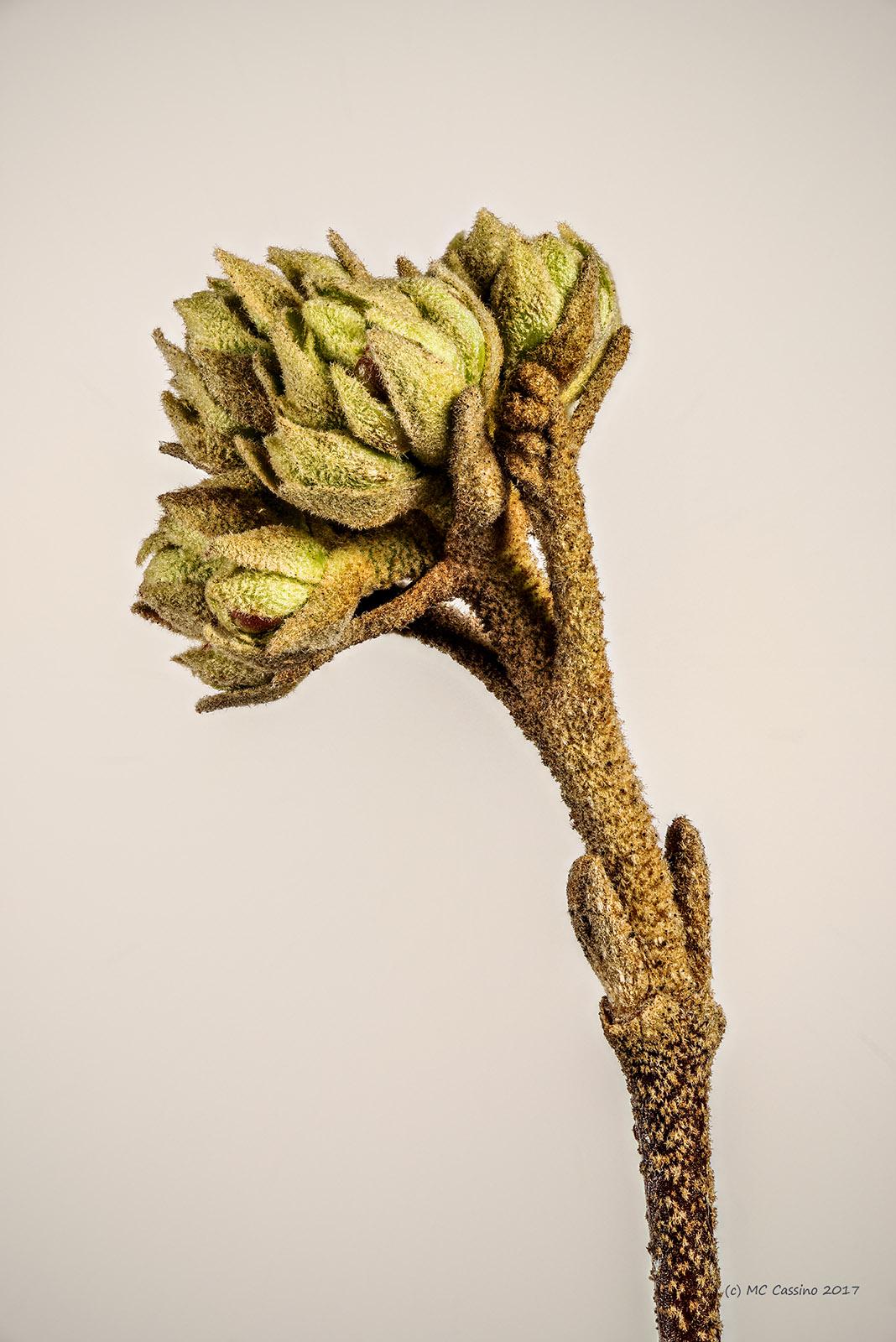 Viburnum Bud
