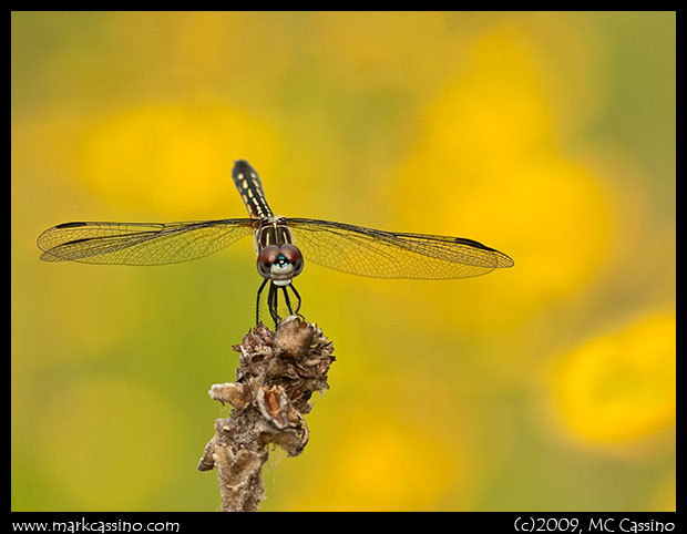Blue Dasher perched in a field of coreopsis.
