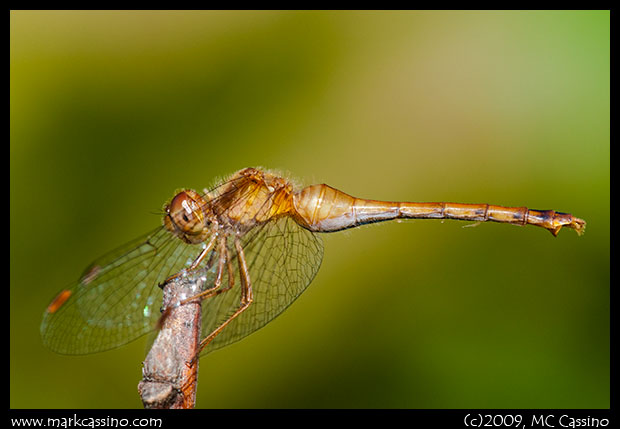 Photo of Autumn Meadowhawk Dragonfly