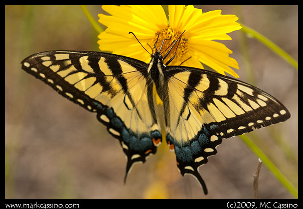 Tiger Swallowtail on Coreopsis