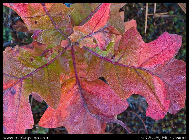 Oak Sprig
