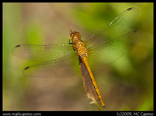 Immature Meadowhawk Dragonflies