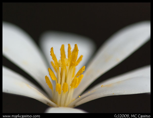 Photograph of bloodroot flower