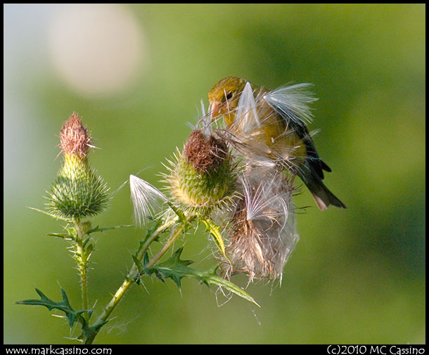 Goldfinch in Thistle