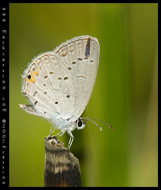 Eastern Tailed Blue - Cupido comyntas