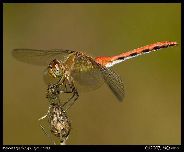 Unidentified Meadowhawk