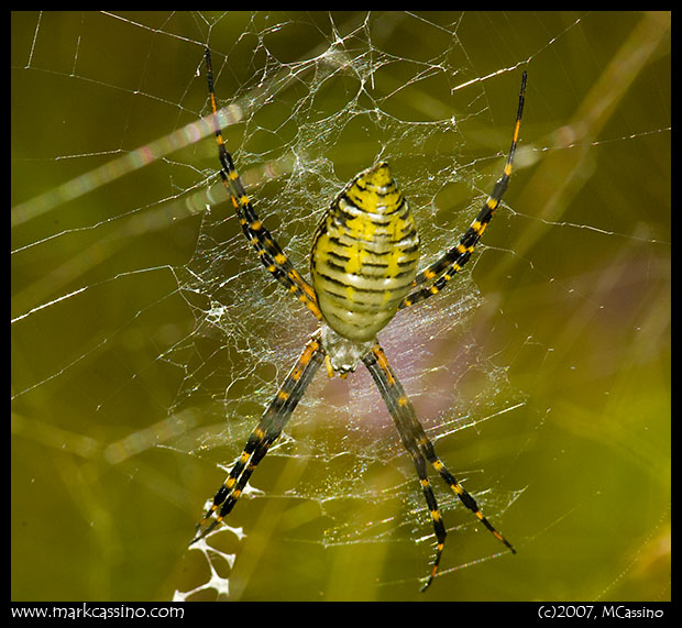 Banded Argiope Spider