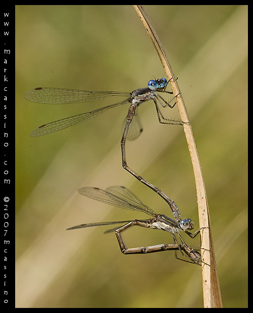 Spotted Spreadwing Damselflies