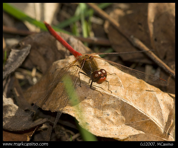 Yellow Legged Meadowhawk