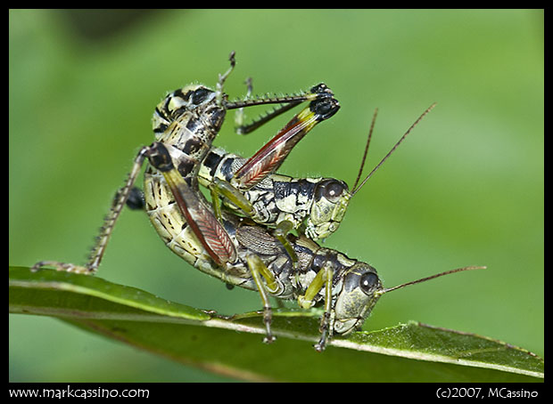 Mating Grasshoippers