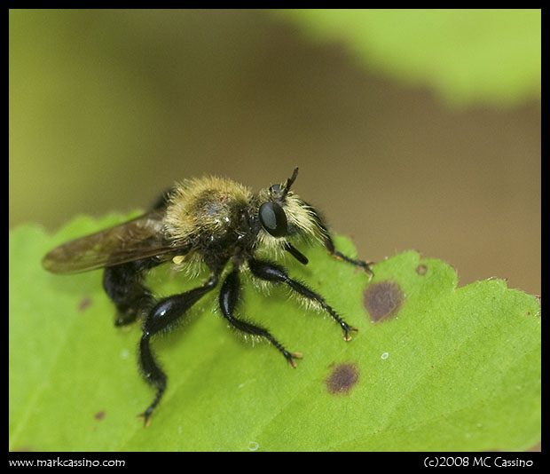 Bee Hunter (Robberfly)