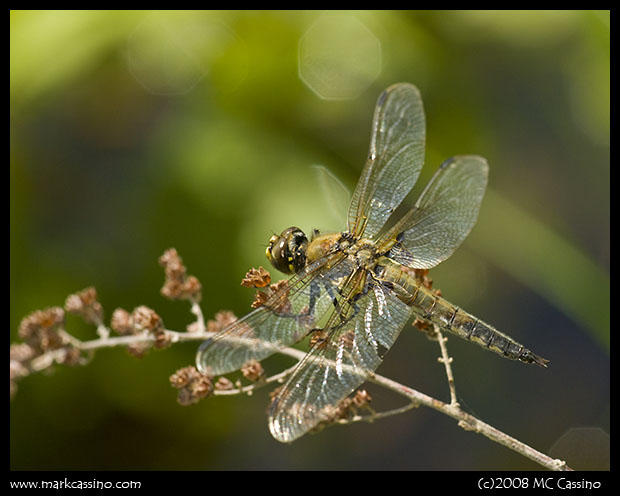 Four Spotted Skimmer