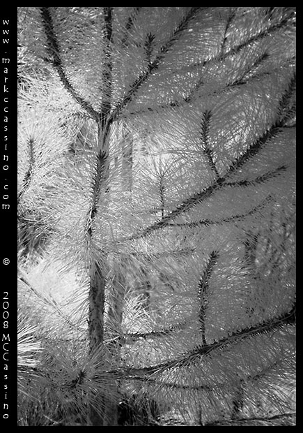 Pine Tree in Infrared