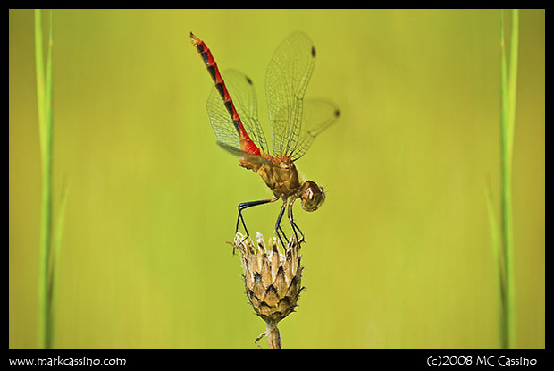 Digitally Manipulated Dragonfly Photo