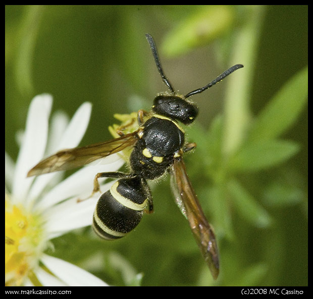 Wasp On Aster