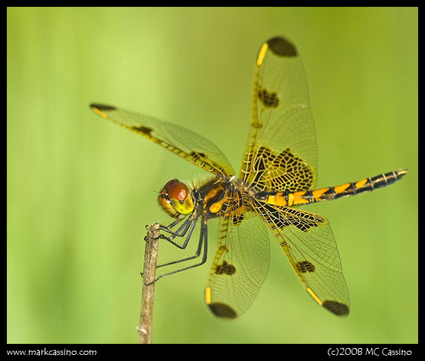 Calico Pennant (Female)