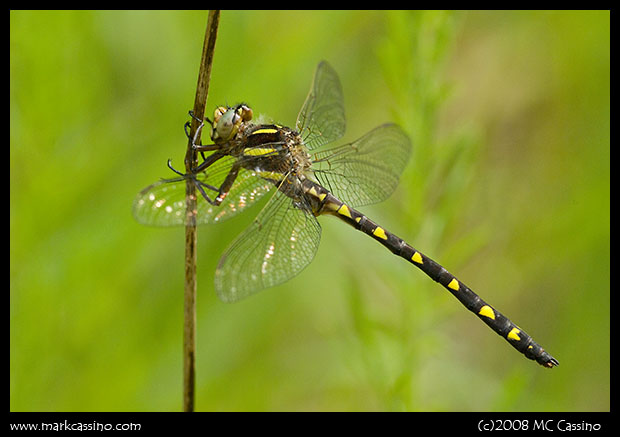 Brown Spiketail Dragonfly