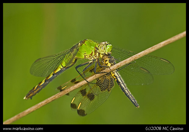 Eastern Pondhawk with Calico Pennant