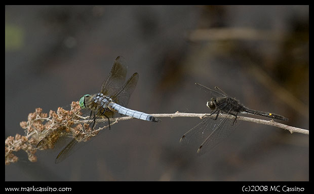 Blue Dasher and Dot Tailed Whiteface