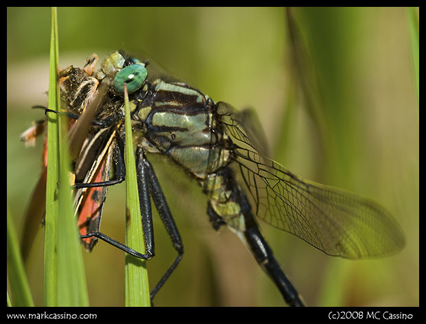 Clubtail Dragonfly with Prey