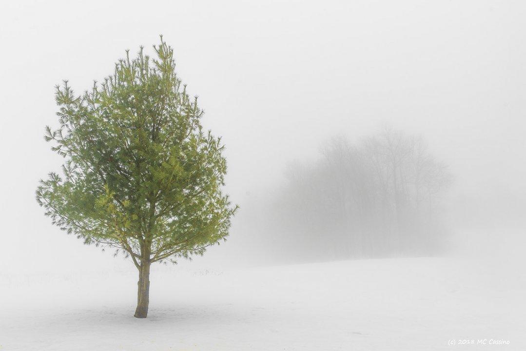 Pine In Winter Fog