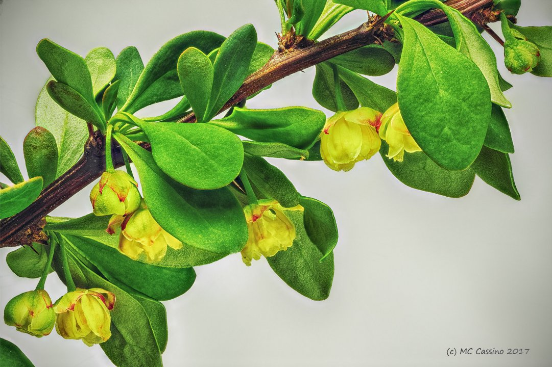 Barberry Flowers