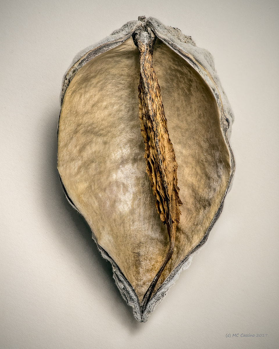 Milkweed Seed Pod