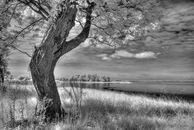 Crooked Tree at Ferry Point, Maryland