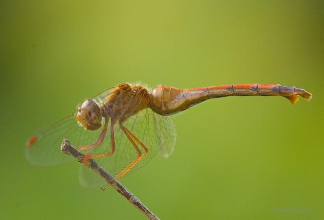 Autumn Meadowhawk (a.k.a. Yellow Legged Meadowhawk)