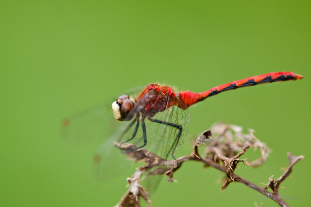 Whitefaced Meadowhawk