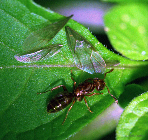 Photograph of Ant with Recently Shed WIngs