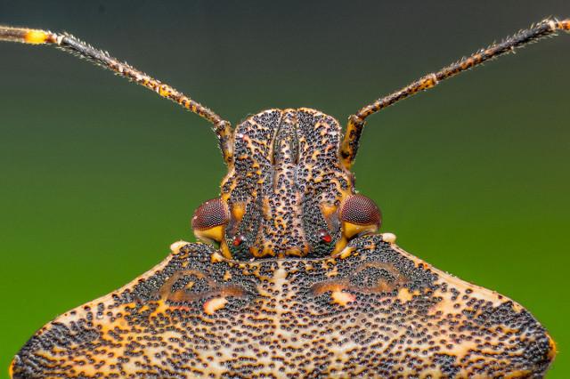 Stinkbug - Extreme Macro