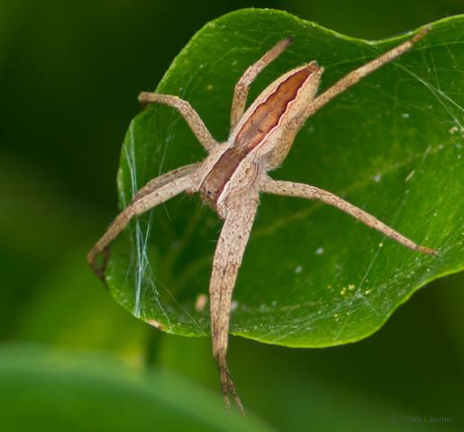 Photograph of Nursury Web Spider - Pisaurina mira