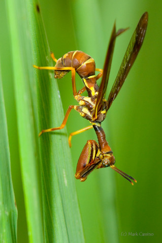 Photograph of Mantid Fly - family Mantispidae (?)
