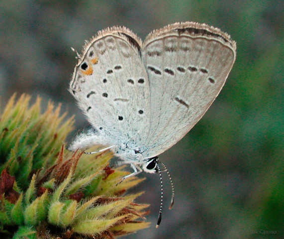 Photograph of Eastern Tailed Blue - Cupido comyntas