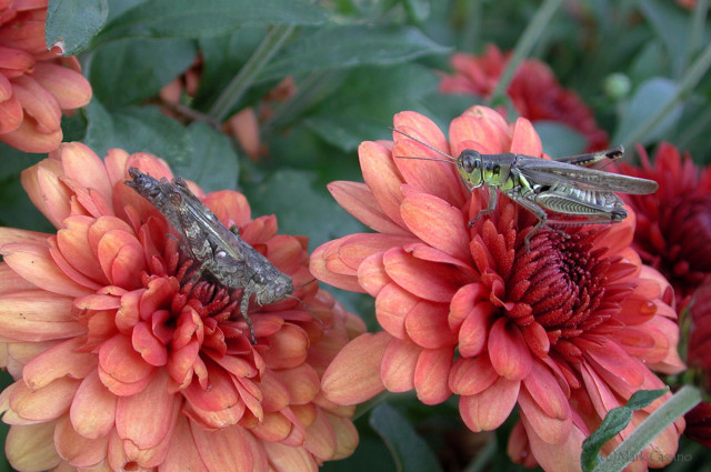 Photograph of Grasshoppers on Red Flowers